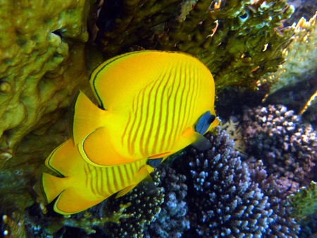 Butterflyfish on the coral reef