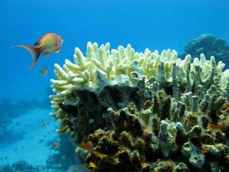 stony corals: coral reef and orange fish