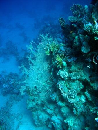gorgonian: coral reef with gorgonian