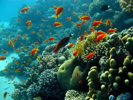 coral reef with orange fishes