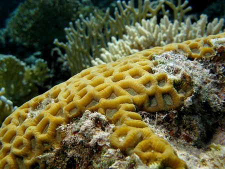 brain coral: coral reef with brain coral Stock Photo