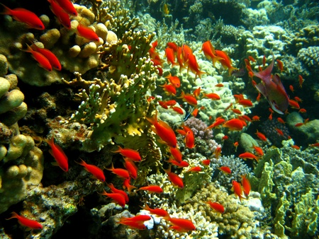 coral reef with shoal of  orange fishes