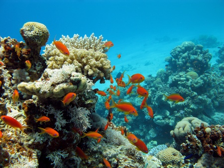 coral ocean: coral reef and orange fishes Stock Photo