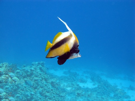 Butterflyfish and coral reel photo