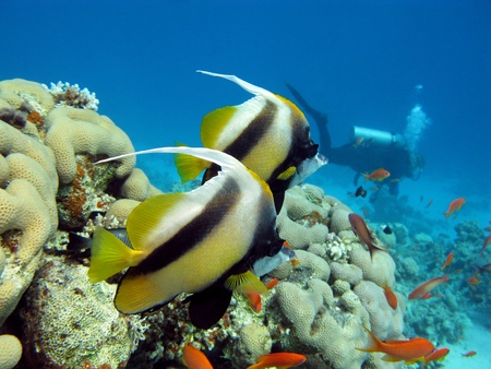 coral reef, butterflyfishes and diver Stock Photo - 10554640