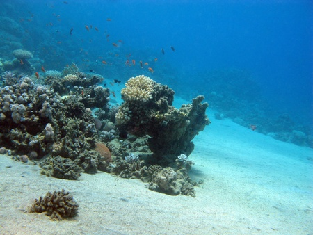 soft corals: coral reef with exotic fishes