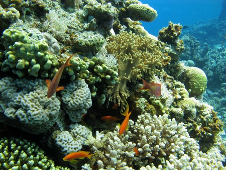 hard coral: Coral reef wiyth hard and soft corals