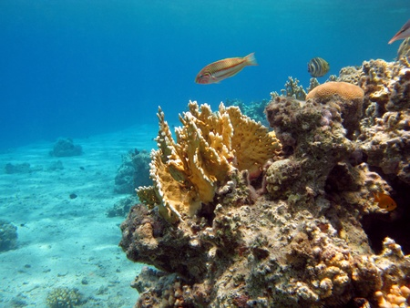 stony corals: coral reef with yellow fire coral Stock Photo