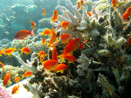 anthias fish: coral reef with stony coral Stock Photo