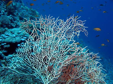 gorgonian: coral reef with sea whip