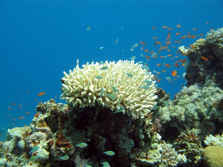 stony corals: coral reef with exotic fishes