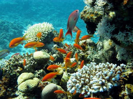 coral reef with exotic fishes - Anthias Stock Photo