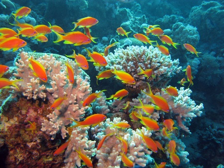 coral reef with shoal of exotic fishes Anthias Stock Photo - 10936121