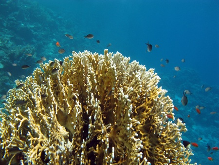 coral reef with single fire coral photo