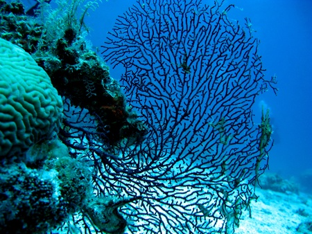 gorgonian: A gorgonian, also known as sea whip or sea fan