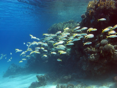 coral reef with shoal of exotic fishes photo