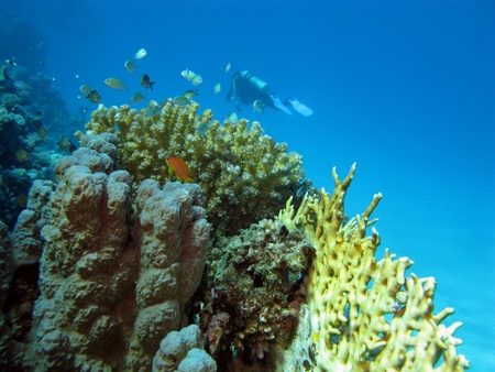 coral reef with fishes and diver photo