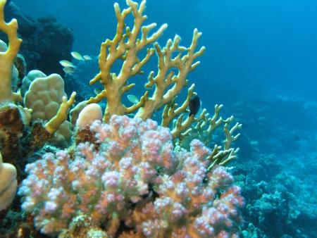 recife de coral com fogo coral Banco de Imagens