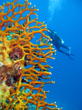 coral reef with fire coral and diver Stock Photo - 14518127