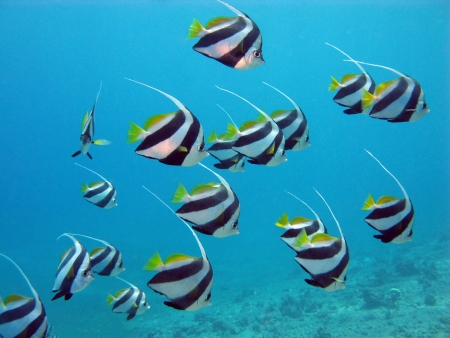 red sea with butterflyfishes photo