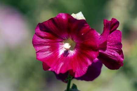 violet Malvaceae at the green background photo