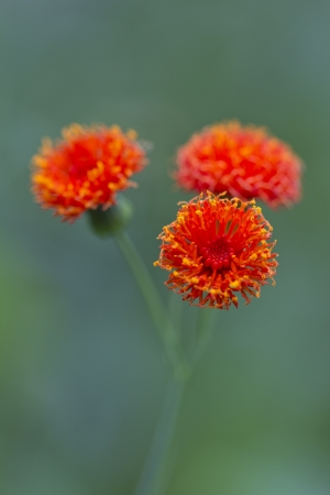 Tassel flower at the green background photo