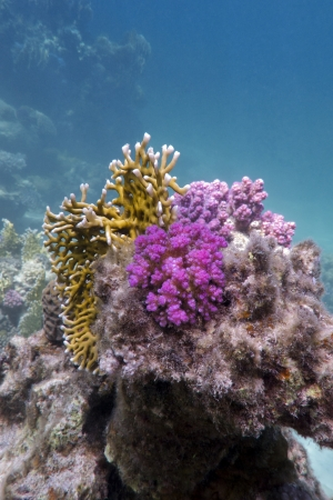 hard coral: coral reef with fire and hard corals Stock Photo
