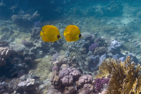 coral reef with butterflyfishes photo
