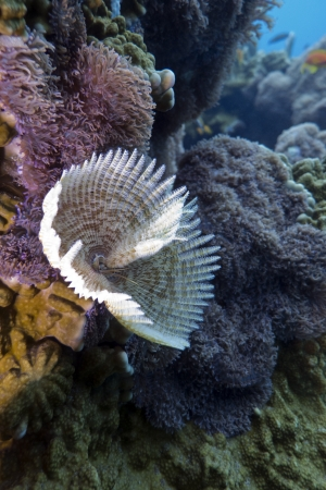 feather duster worm on the bottom of red sea Stock Photo - 14689883