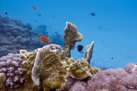 coral reef with fire coral and exotic fishes photo