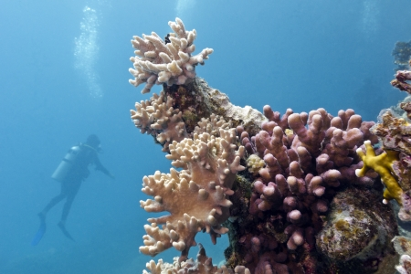 coral reef with soft and hard corals and diver photo