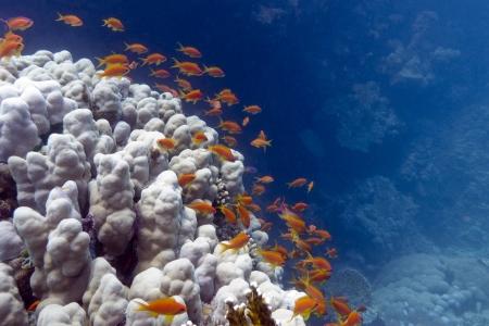 anthias: coral reef with exotic fishes anthias Stock Photo