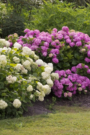 bigleaf hydrangea: lilac and white bushes of great blossoming hortensias in the garden
