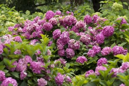 bigleaf hydrangea: great bush of blossoming hortensia in the garden