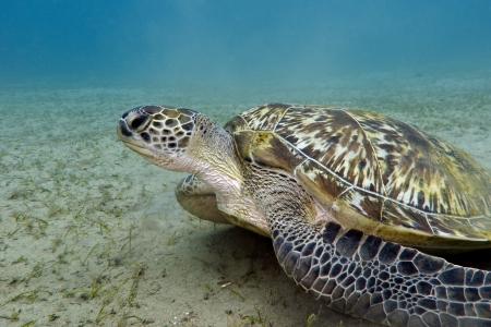 marsa: great sea turtle on the bottom of red sea in Marsa Alam