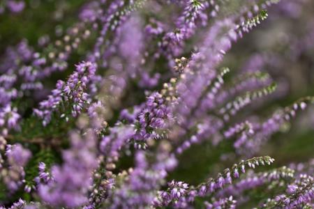lilac flowers of calluna vulgaris in the garden photo