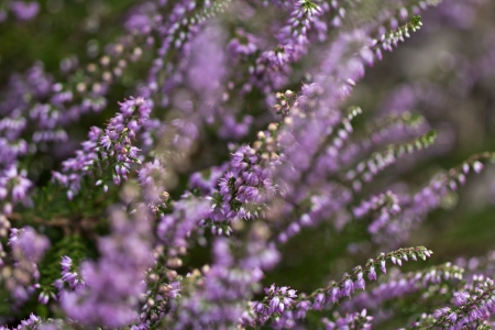 lilac flowers of calluna vulgaris in the garden photo