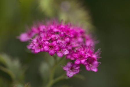 beautiful pink flowers of  spiraea japonica in the garden photo