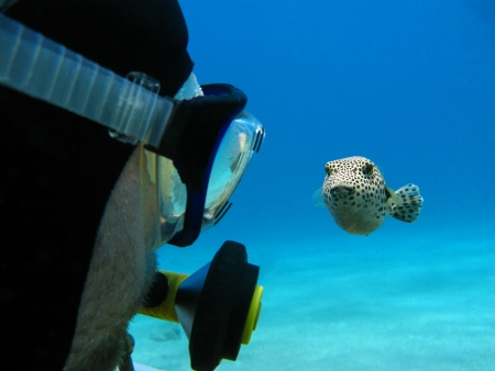 pez globo: Scuba Diver y peces globo rojo en el mar