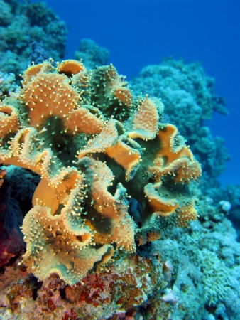 great soft coral on the bottom of red sea photo