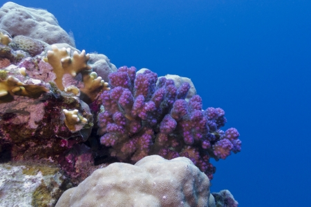 coral reef with violet hard coral in red sea photo