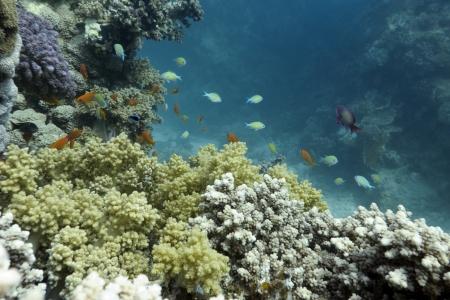 recife de corais com peixes ex�ticos na parte inferior do Mar Vermelho Banco de Imagens