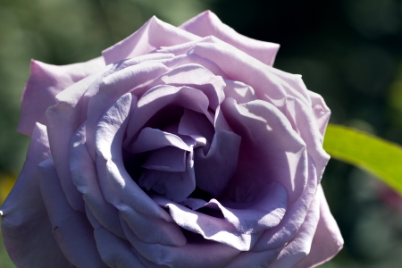 great single lilac flower of garden rose in the garden photo