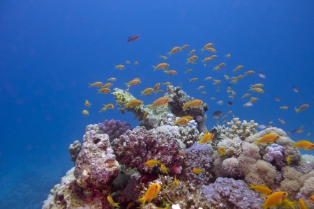 anthias: colorful coral reef with exotic fishes anthias