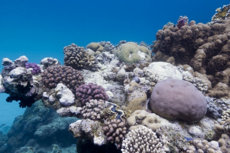 stony corals: coral reef with stony corals on the bottom of red sea