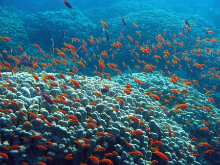 coral reef with great hard coral  shoal of anthias