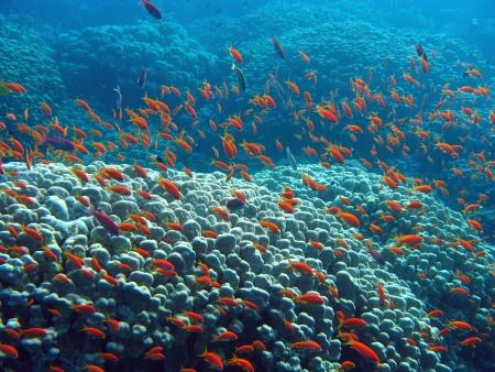 anthias fish: coral reef with great hard coral  shoal of anthias