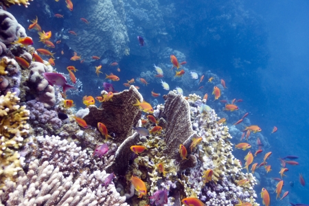 anthias: colorful coral reef with hard and fire corals and exotic fishes anthias
