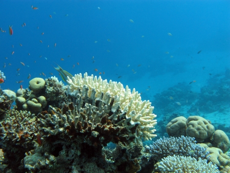 acropora: coral reef with white stony coral and exotic fishes on the bottom of red sea