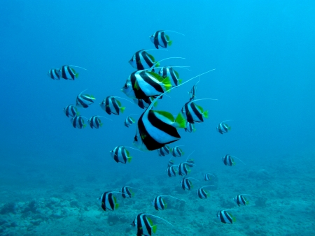coral reef with butterflyfishes in red sea in egypt photo